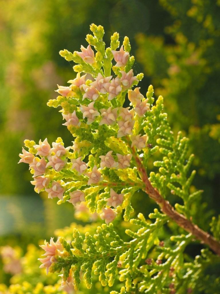 Fleurs femelles de thuya