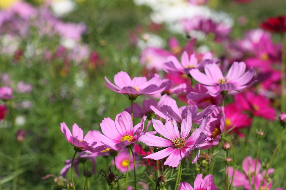 Cosmos roses dans le jardin.