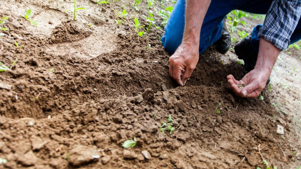 Main d'un homme âgé plantant des graines.