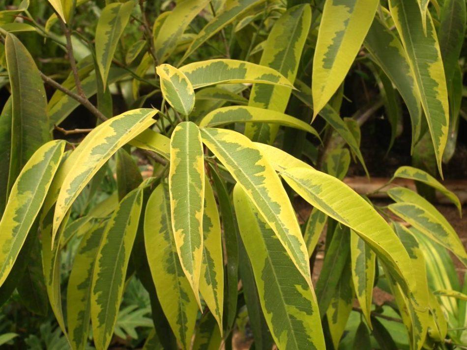 Figuier à feuilles de sabre 'Amstel Gold' avec sa panachure chartreuse et verte.
