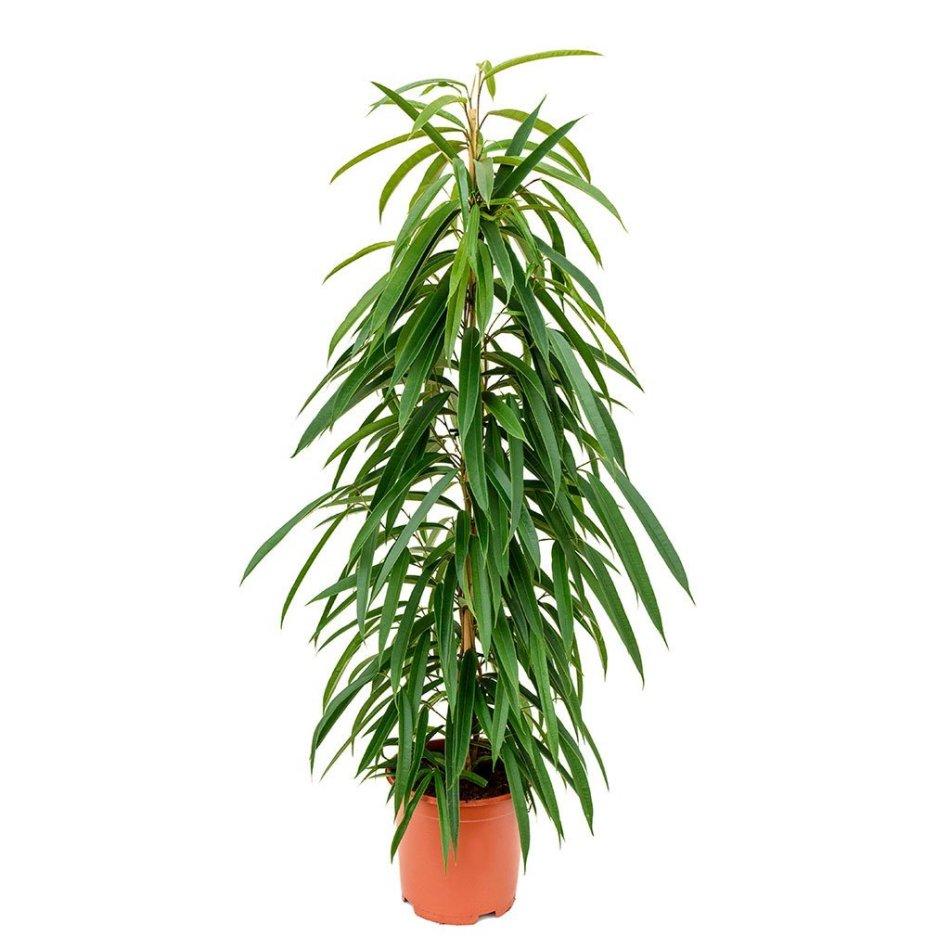 Figuier à feuilles de sabre avec des feuilles jusqu'en bas.