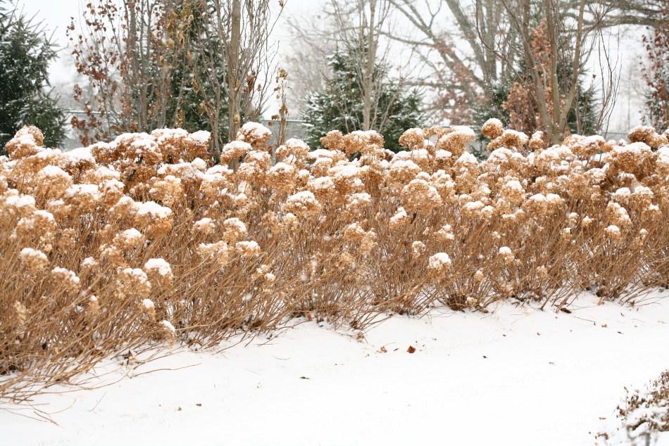 Hydrangée arborescente Incrediball sous la neige avec fleurs séchées.