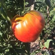 tomates-coeur-de-boeuf