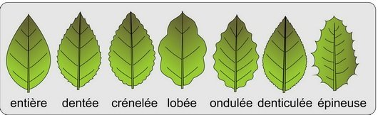 Feuille - bordure du limbe