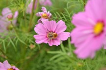cosmos fort apprécié par les abeilles