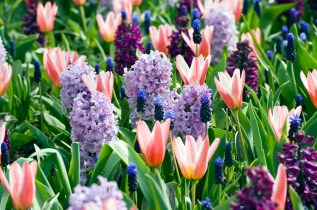 Hyacinthus 'Purple Voice', 'City of Bradford' Muscari latifolium; Tulipa kaufmanniana 'Heart's Delight' © iBulb