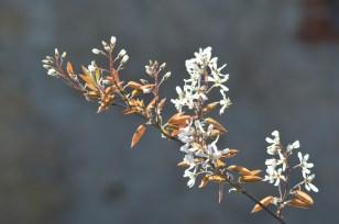 Amélanchier lamarckii