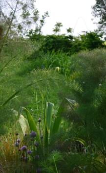 ciboulette (allium schoenoprasum), Allium 'Mont Blanc' et Fenouil bronze (Foeniculum purpureum)