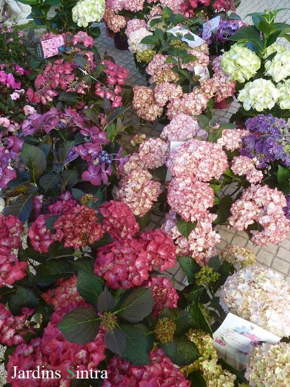 Hydrangeas – Hortênsias