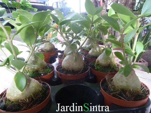 Hydnophytum (Planta-formigueiro)