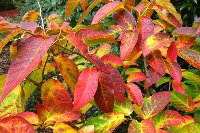 arbustes a feuilles rouges en automne
