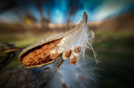 milkweed-macro