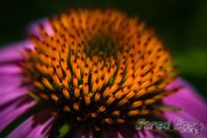 nebraska echinacea