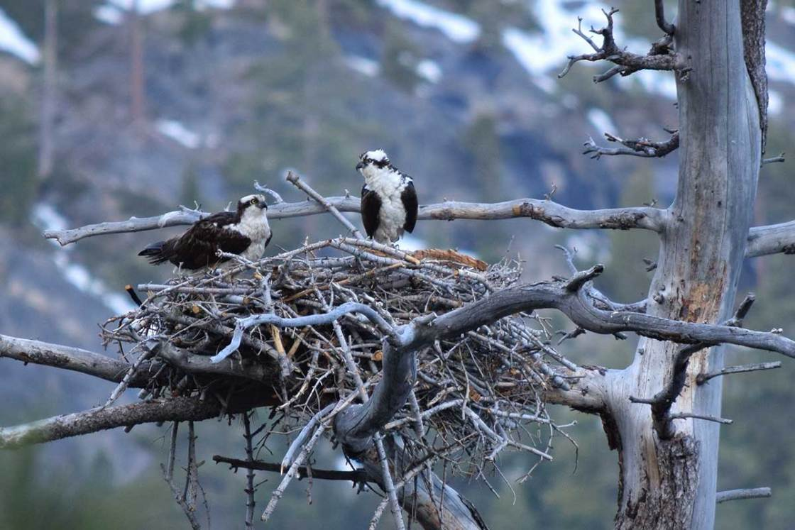 A pair of Osprey in their nest at Emerald Bay