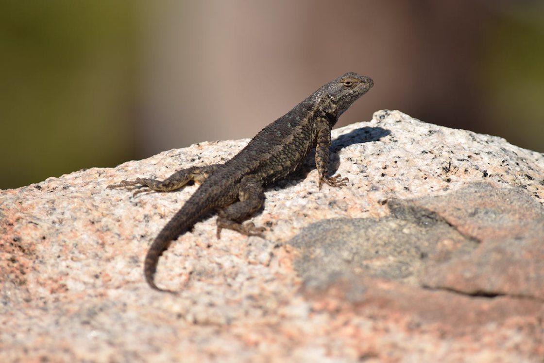 Western Fence Lizard on a granite boulder