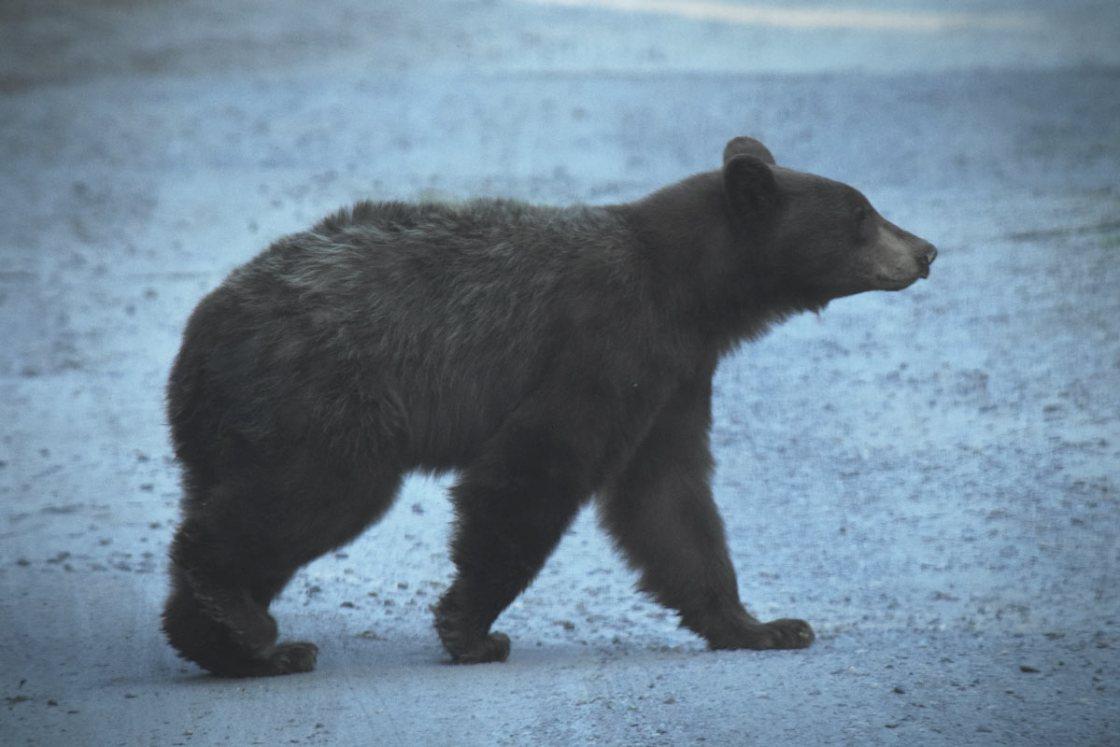 Black Bear walking across a dirt road