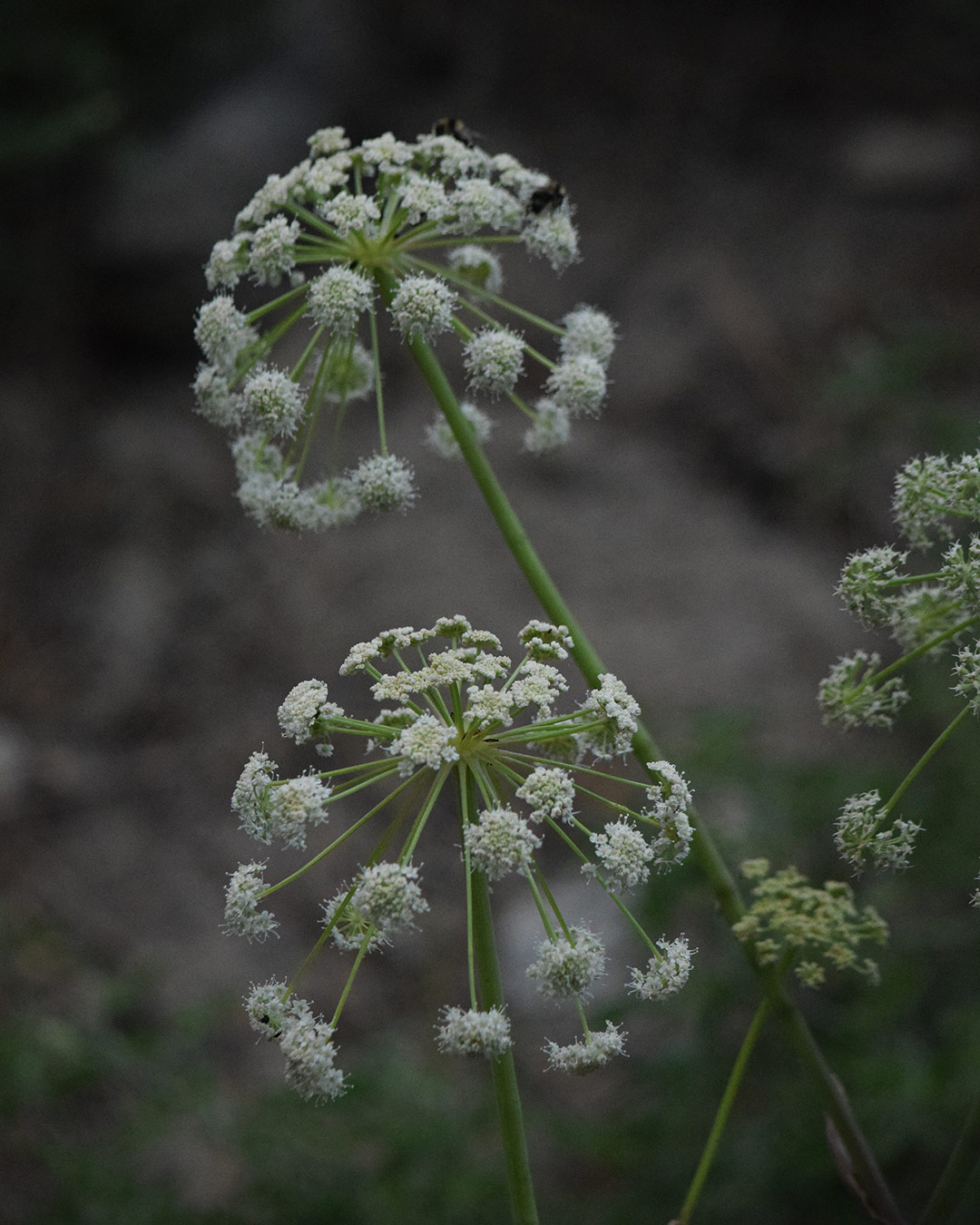 Brewer's Angelica