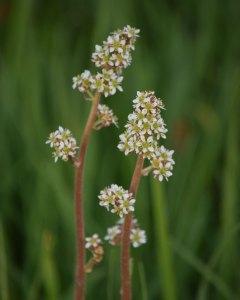 Oregon Saxifrage