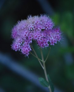 Mountain Spiraea