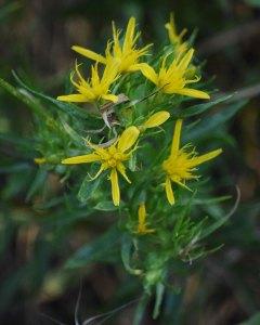Bloomer's Goldenbush