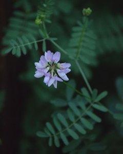 Purple Crownvetch