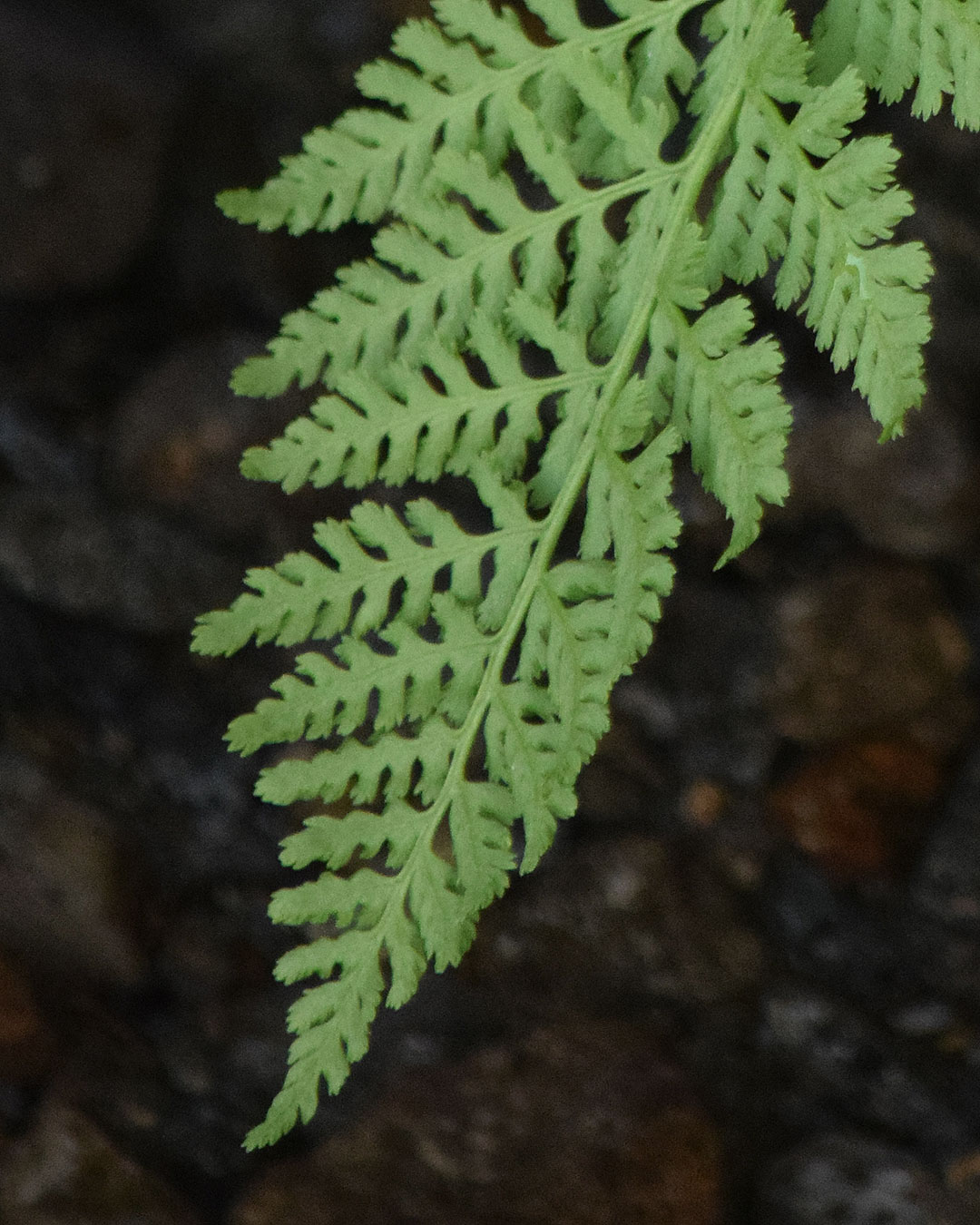 American Alpine Lady Fern
