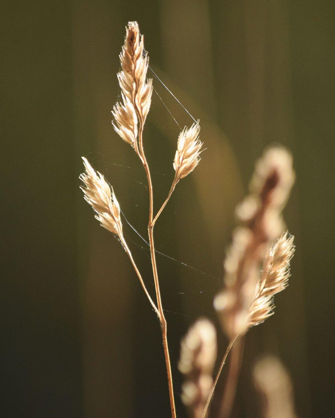 Dry grasses