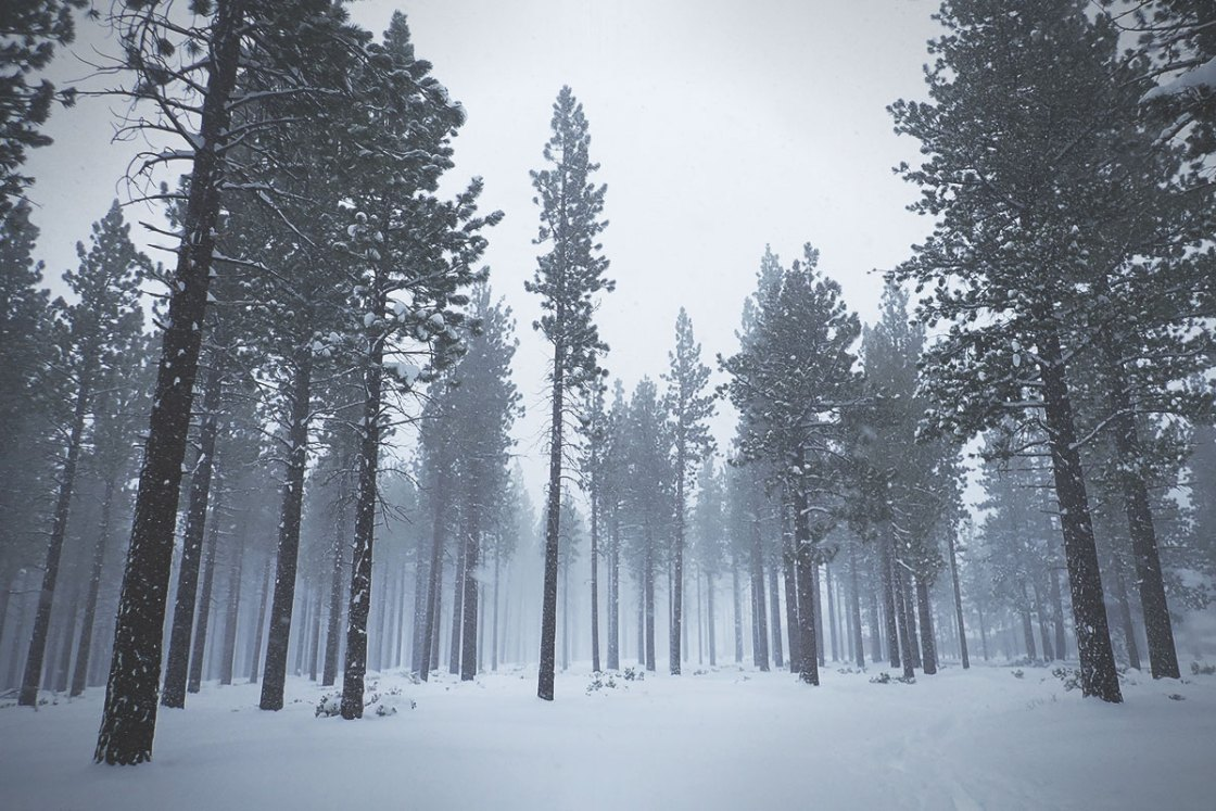 Snowstorm and tall pine trees