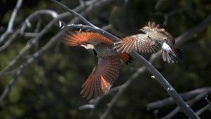 Northern Flicker (Colaptes auratus)