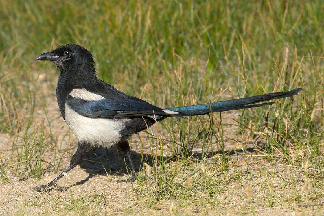 Black-Billed_Magpie (Pica hudsonia)