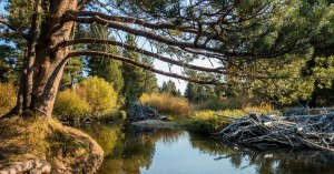 Lodgepole Pine tree extending over a river