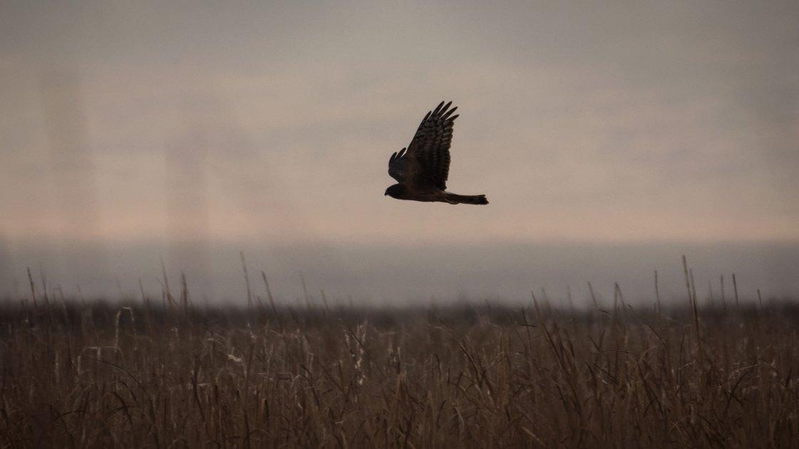Northern Harrier.