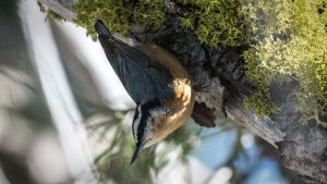 Red-Breasted Nuthatch and Wolf Lichen