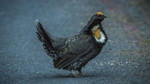 Sooty Grouse - Dendragapus fuliginosus