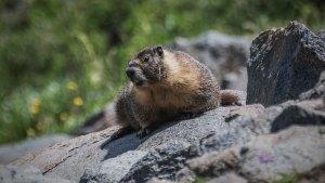 Yellow-bellied Marmot - Marmota flaviventris