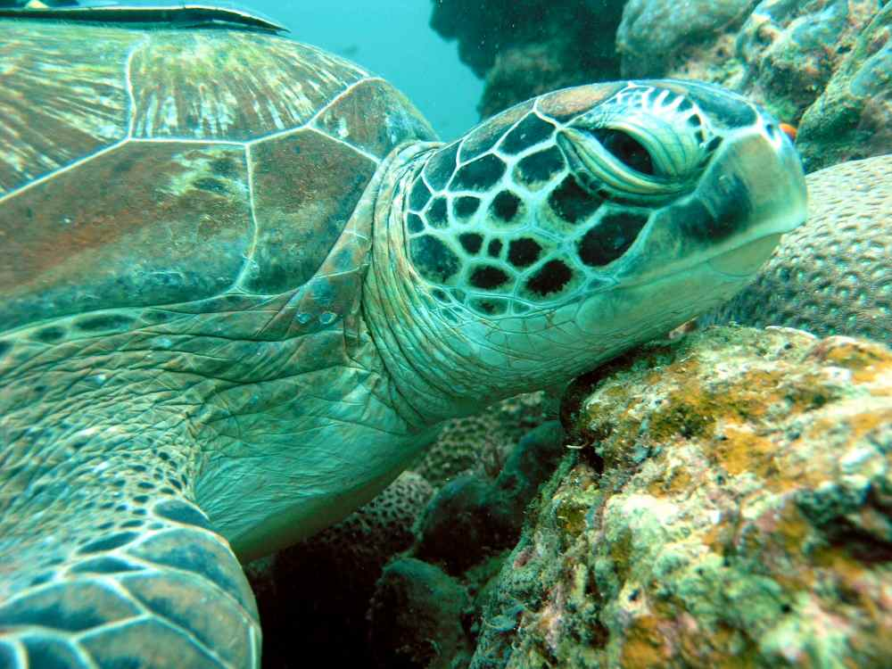 finds: green sea turtles return to taiwan