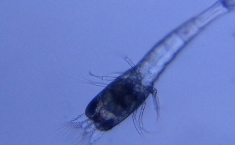 大和藻蝦幼苗觀察