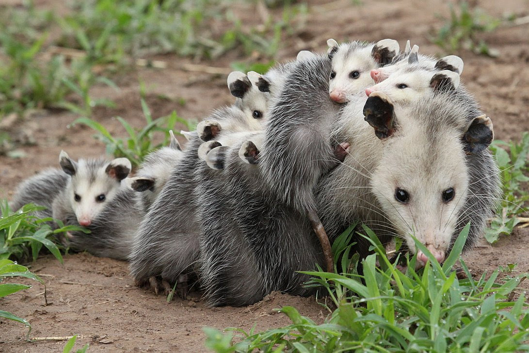 The Magickal Opossum