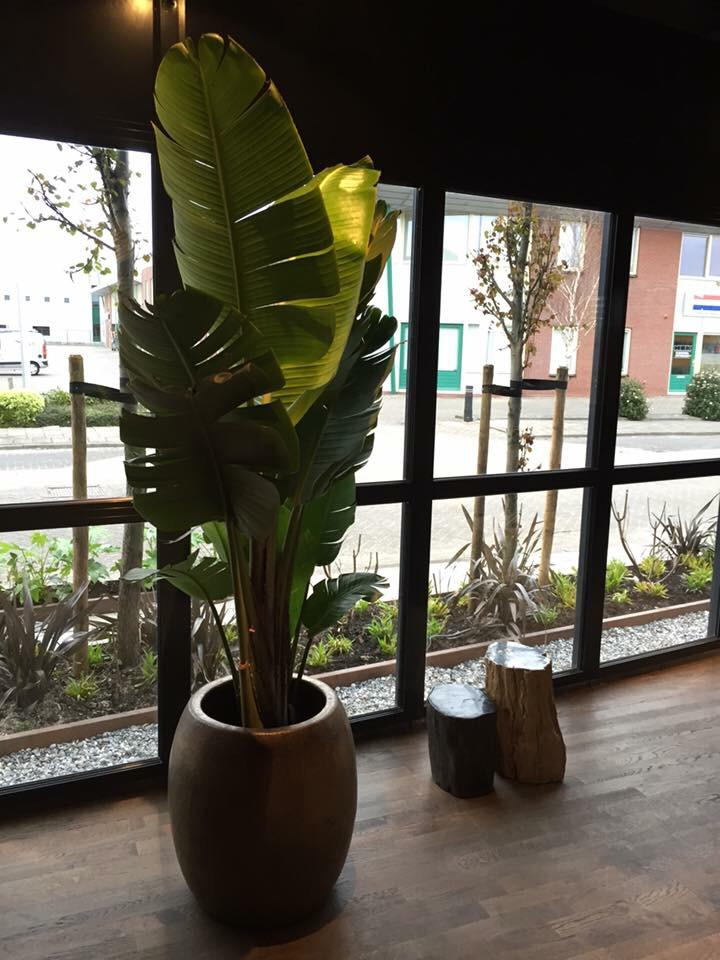 jasmijnbloembinders - Strelizia plant