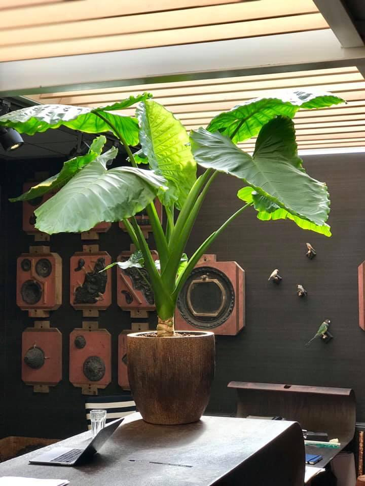 Jasmijnbloembinders - Alocasia plant