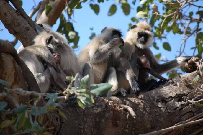 A langur monkey family in Ranthambore national park