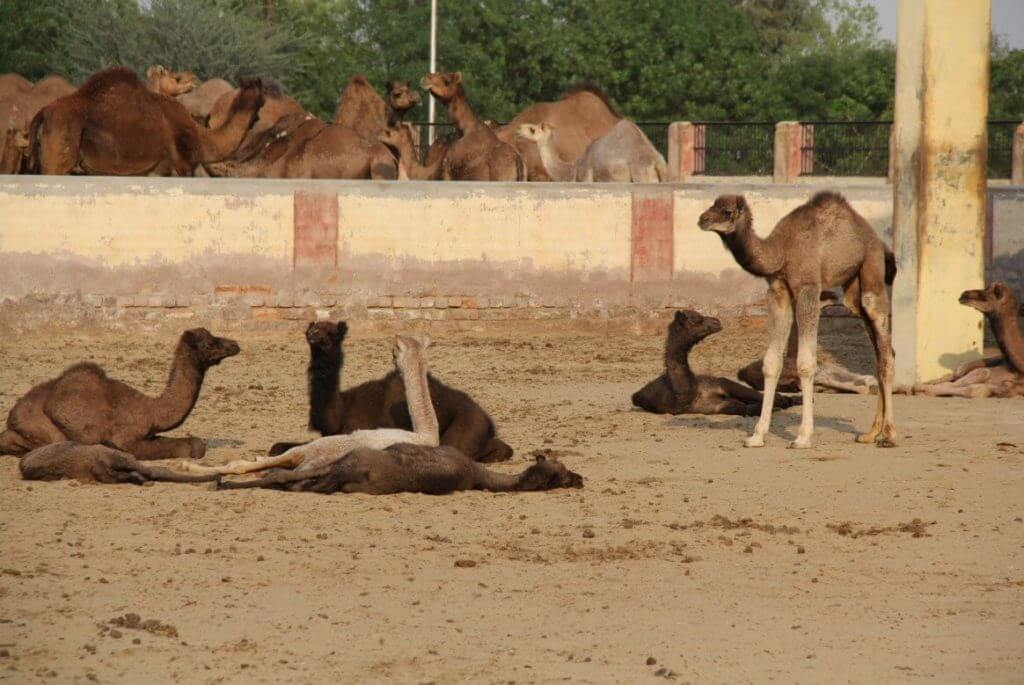 Camel Babies National Research Center on Camel at Bikaner in Rajasthan.