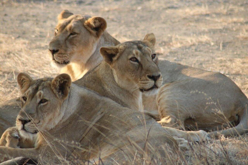 Lions Gir National Park Gujarat