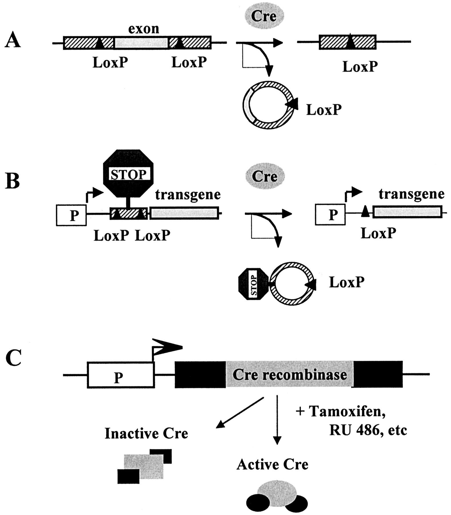 Inducible Gene Expression And Gene Modification In
