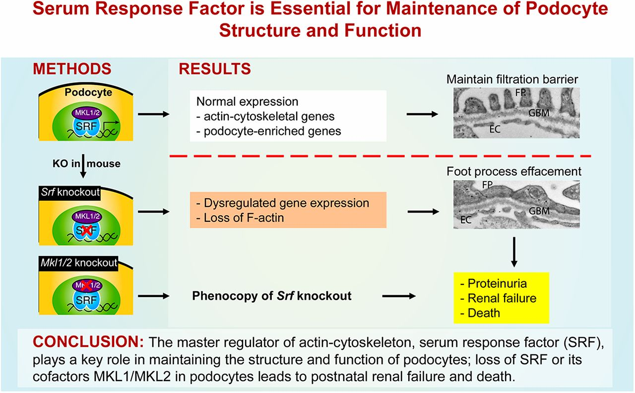 Serum Response Factor Is Essential For Maintenance Of