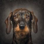 French Bulldog – Elvis