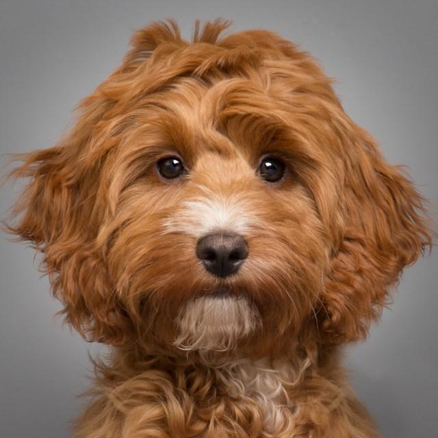 Dog-studio-portrait-Cockerpoo