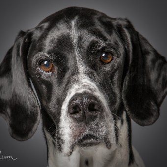 English Pointer Studio Portrait
