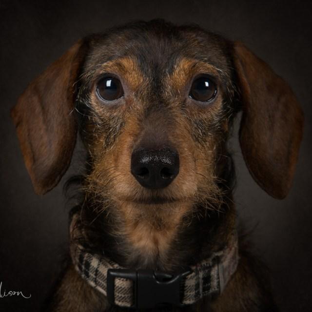 Miniature Dachshund Portrait
