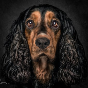 Portrait of a working Springer Spaniel